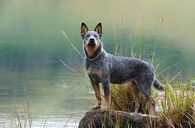 australian shepherd odor australian cattle dog breed information pictures characteristics