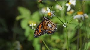 in the spotlight st marks monarch butterfly festival