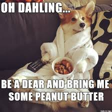 Peanut Butter Meme - lazy corgi wants some peanut butter please dahling meme on imgur