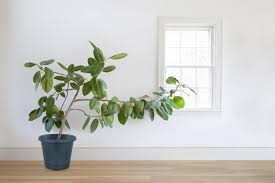 how to grow healthy ficus trees at home