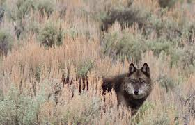 australian shepherd wolf mix the wolves in our dogs are we trying to protect the species