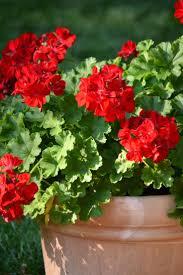 Geranium by Best 20 Geraniums Ideas On Pinterest Geranium Plant Geranium