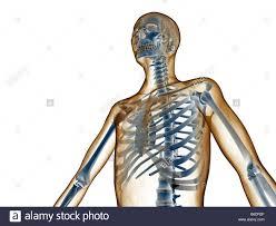 Human Anatomy Upper Body Upper Body Skeleton Stock Photo Royalty Free Image 21201783 Alamy