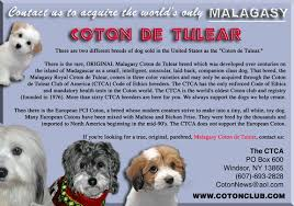havanese vs bichon frise coton info welcome to chico cotons