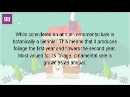 is ornamental kale annual or perennial
