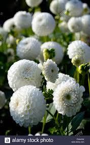 dahlia l u0027ancresse white ball dahlias flower flowers bloom blossom