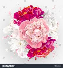 Peony Flowers by Luxurious Pink Red White Peony Flower Stock Vector 557337187