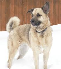 belgian shepherd sydney help me identify my dog belgian malinois german shepherd