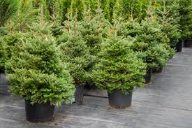 tips for choosing a living christmas tree