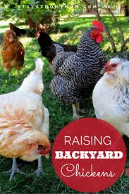keeping backyard chickens stay at home mum
