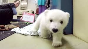 video of the week u2014 adorable polar bear cub nora chills out at the
