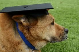 dog graduation cap brown dog wearing graduation cap stock photo image of