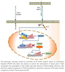 biology free full text prdm proteins molecular mechanisms in