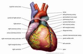 The Human Anatomy Pictures Anatomy Of The Heart Diagram View