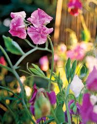 Sweet Pea Images Flower - sweet pea flowers growing sweet peas