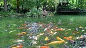 Botanical Gardens Ft Worth Koi Fish In The Japanese Garden Picture Of Fort Worth Botanic