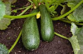 fruit and vegetable gardening a z summer and winter squash