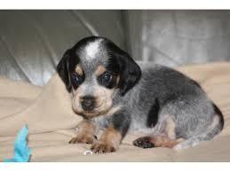 bluetick coonhound kennels in tennessee 88 best doggie stuff images on pinterest bluetick coonhound