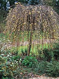 weeping cherry is a distinctive graceful tree hgtv