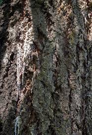 sap from trunk of a douglas fir tree ask an expert