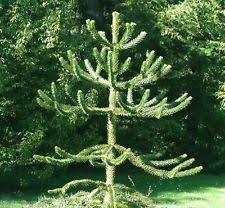 monkey puzzle trees ebay