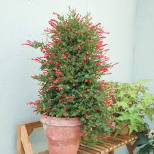 indoor vine plant brazilian firecracker vine manettia cordifolia tropical plants