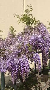 wisteria sinensis australian bush flower 198 best wisteria mor salkım images on pinterest wisteria