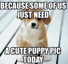 Corgi Puppy Meme - funny dog meme best collection of this is fine dog memes