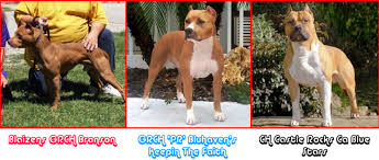 american pitbull terrier vs german shepherd american pitbull terrier vs american staffordshire terrier page 1