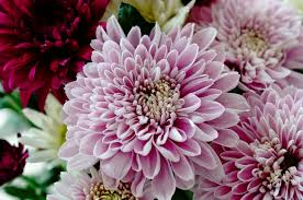 flowers in november birth flowers november chrysanthemums growing family
