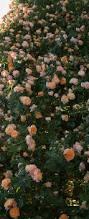 best 25 heirloom roses ideas on pinterest climbing flowers old