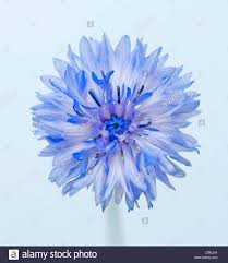 corn flower blue centaurea cyanus cornflower blue flower subject blue background