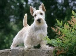 scottish yerrier haircuts scottish terrier