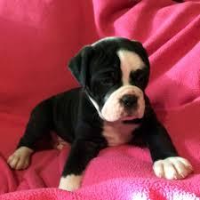 belgian sheepdog breeders indiana puppies for sale ckc