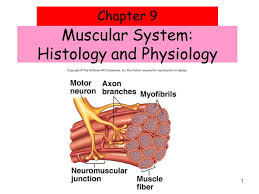 Anatomy And Physiology The Muscular System Muscular System Histology And Physiology Ppt Download