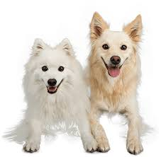 american eskimo dog gestation period desexing u2013 the pros and cons veterinary advise to help you make