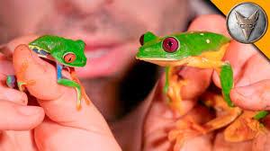 eye vs gliding tree frog
