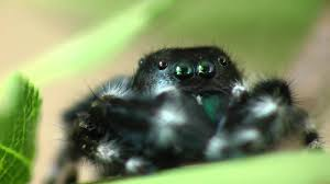 green halloween spiders on black background another cute jumping spider youtube