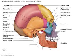 Outside Ear Anatomy The Axial Skeleton U0026 Fetal Skull Ppt Video Online Download