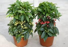 hardy ardisia is the christmas plant real dirt toronto star