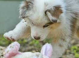 pictures of australian shepherds australian shepherd dog breed information puppies u0026 pictures