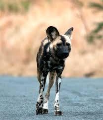 safari ltd african wild dog african wild dogs hluhluwe game reserve