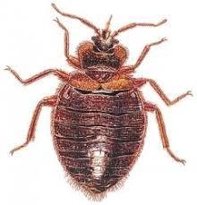 Bean Leaves Bed Bugs How To Kill Bed Bugs کھٹملوں کا خاتمہ Zubaida Tariq