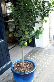 pots for trees uk olive tree suitable for courtyards and pots
