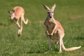 kangaroo crossing arrives at the minnesota zoo mpls st paul magazine