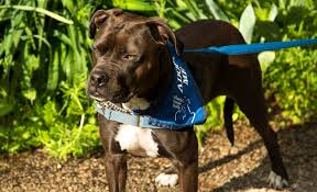 american pit bull terrier website free images home puppy animal pet vertebrate pit bull