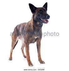 belgian sheepdog trials sheepdog cut out stock images u0026 pictures alamy