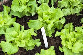 What To Plant In Spring Vegetable Garden by The Best Vegetables To Plant In Early Spring