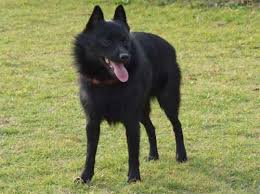 belgian sheepdog pros and cons schipperke a