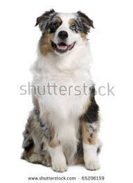 6 month australian shepherd australian shepherd stock images royalty free images u0026 vectors